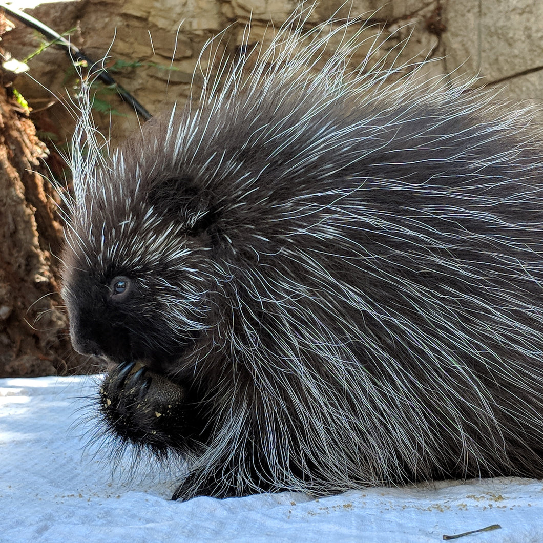 Adopt a North American Porcupine