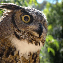 Load image into Gallery viewer, CuriOdyssey Great Horned Owl ADULT Face Mask
