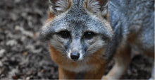 Load image into Gallery viewer, CuriOdyssey Gray Fox Child Face Mask