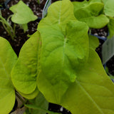 Ipomoea (Potato Vine)