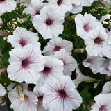 Assorted Hanging Baskets 14""