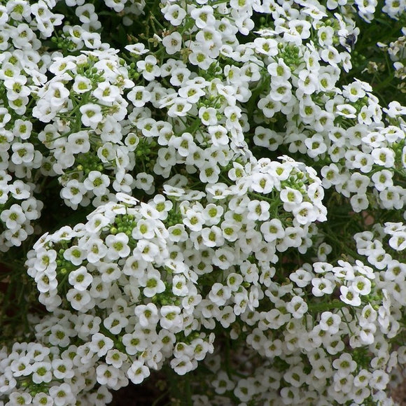Lobularia (Alyssum Easter Bonnet White)