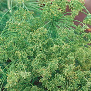 The Garden Corner Dill (Annual) Seed