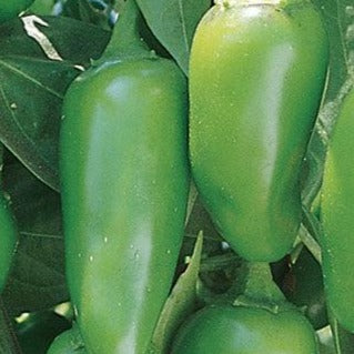 Jalapeno Early Hot - 6 PK