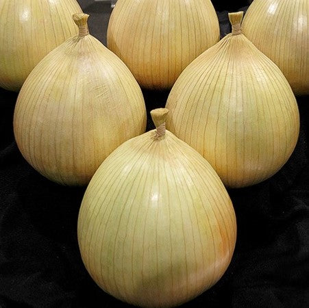 Kelsae Sweet Giant Onion
