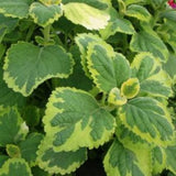 Plectranthus (Swedish Ivy)