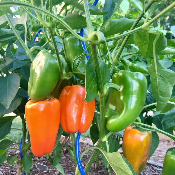 Orange Blaze Pepper - 6 PK