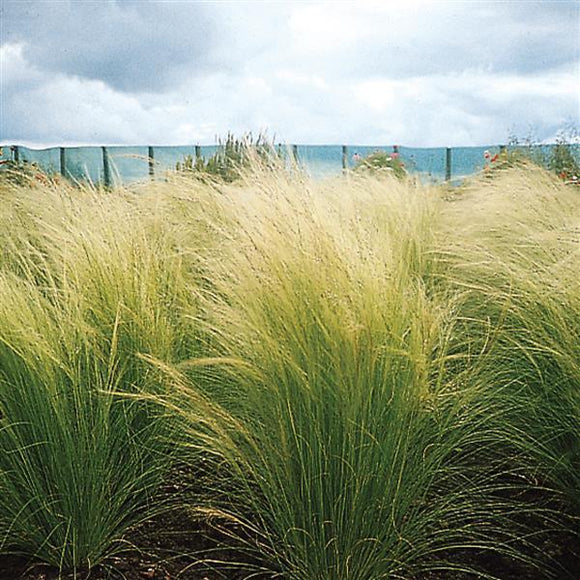 Stipa Ponytails ColorGrass