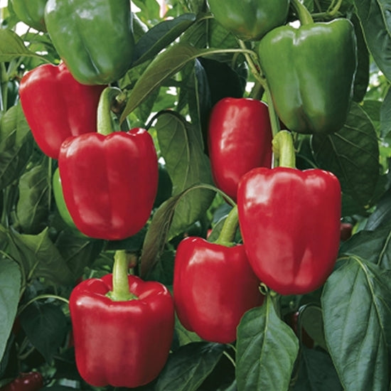 Red Beauty Pepper - 4 PK