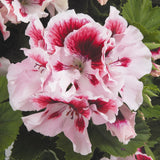 Regal Geraniums - Pelargonium Elegance