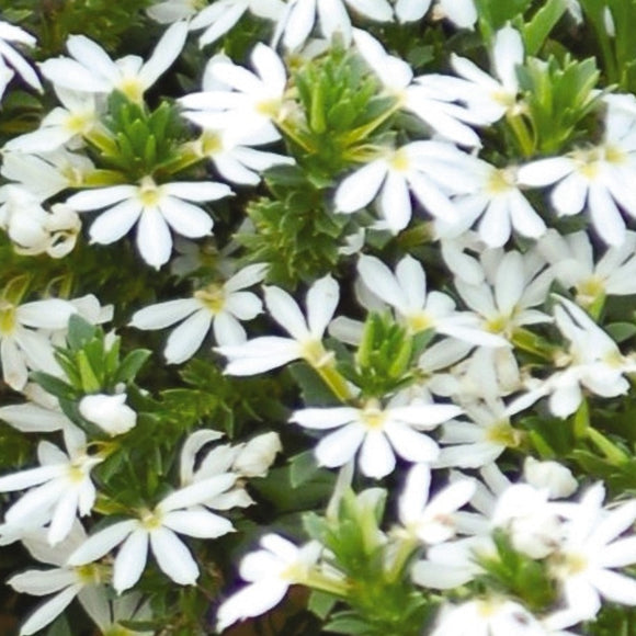 Scaevola (Fairy Fan Flower)