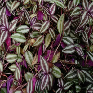 Tradescantia Red Silver (Wandering Jew)