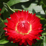 Bracteantha Strawflower