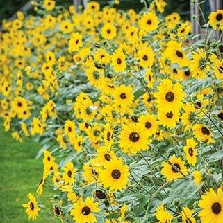 Sunflower Sunfinity