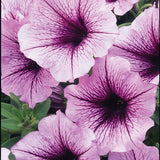 Supertunia
