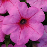 Easy Wave Petunias (6 packs)