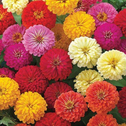 Zinnia Zahara Double Mix