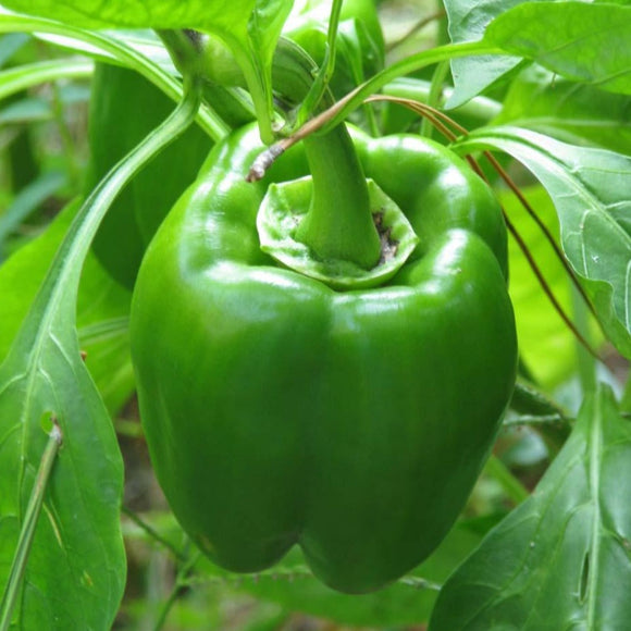 California Wonder Pepper - 6 PK