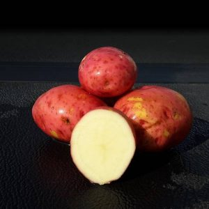 Red Pontiac Seed Potato