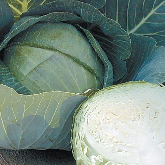 Stonehead Cabbage