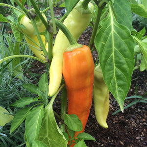 Sweet Banana Pepper - Sweet Hungarian