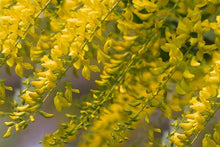 Load image into Gallery viewer, Laburnum Vossii - Golden Chain Tree 25 ltr