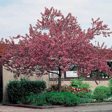 Load image into Gallery viewer, Malus Floribunda - Crabapple 25 ltr