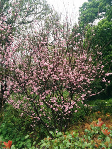 Flowering Peach - Klara Mayer Double Pink 25 ltr