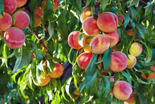 Load image into Gallery viewer, Peach - Dwarf Fresno 25 ltr