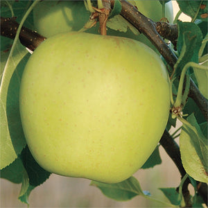 Apple - Semi Dwarf Golden Delicious