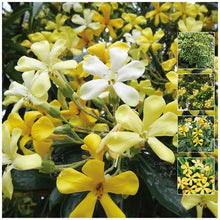 Load image into Gallery viewer, Hymenosporum Flavum - Native Frangipani