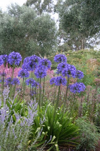 Agapanthus Taw Valley
