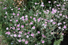 Load image into Gallery viewer, Lychnis coronaria Angel Blush