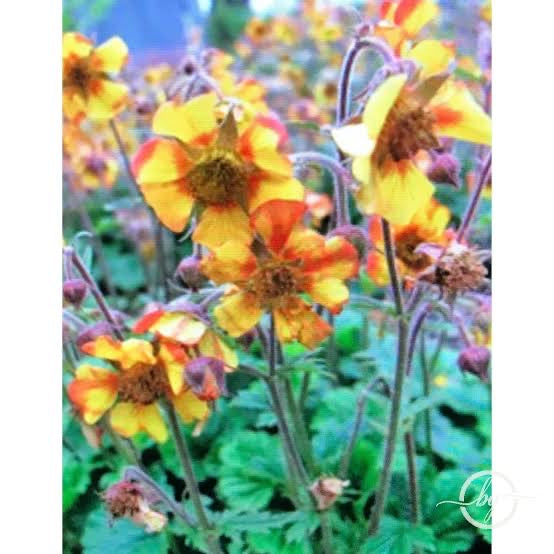 Geum Norgate's Flame
