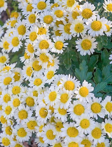 Chrysanthemum Snow Dome