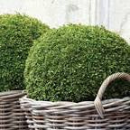 Buxus - Japanese Box