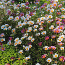 Load image into Gallery viewer, Erigeron - Seaside Daisy