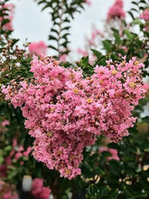 Load image into Gallery viewer, Crepe Myrtle - Sioux