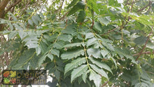 Load image into Gallery viewer, Koelreuteria Paniculata - Golden Rain Tree 45 ltr
