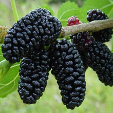 Load image into Gallery viewer, Black Morus Nigra - Mulberry