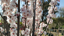 Load image into Gallery viewer, Flowering Plum Oakville Crimson Spire - Prunus 25 ltr