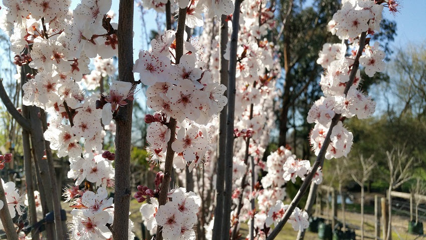 Flowering Plum Oakville Crimson Spire - Prunus 25 ltr