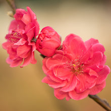 Load image into Gallery viewer, Flowering Peach - Magnifica Red 25 ltr