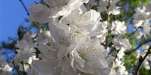 Load image into Gallery viewer, Flowering Peach Albo Plena White - 25 ltr