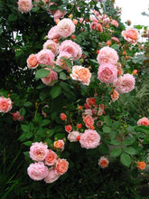 Load image into Gallery viewer, Abraham Darby