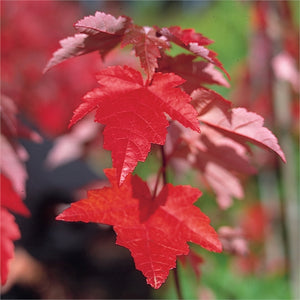 Acer - Fairview Flame 25 ltr