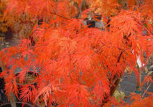 Load image into Gallery viewer, Acer Palmatum - Japanese Maple
