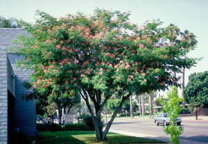 Albizza Jullibrisin - Pink Silk Tree 140mm