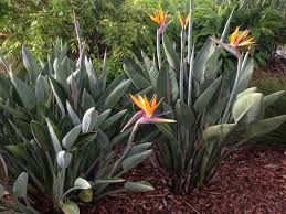 Strelitzia Reginar - Bird of Paradise 25ltr