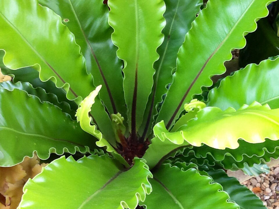 Birds Nest Fern -Asplenium 140mm